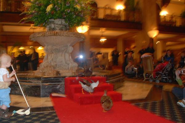 البط في جولته اليومية في فندق peabody hotel