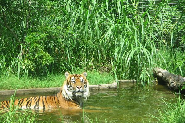 أحد نمور حديقة حيوان بيرث
