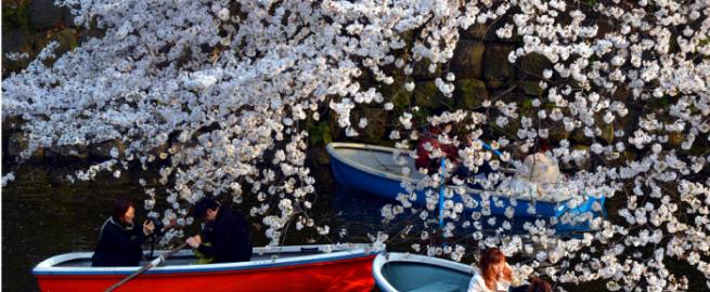 شاهد بالصور مهرجان تفتح أزهار الكرز في طوكيو 84-655x270.png