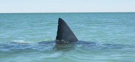 الخطوط النيوزيلندية تمنع نقل زعانف القرش على طائراتها