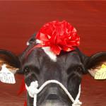 مسابقة ملكة جمال البقر