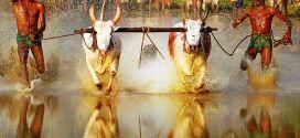 """بالفيديو: """"مارامادي"""" مهرجان الجري مع الثيران فوق حقول الأرز في الهند"""