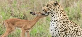 بالفيديو.. ظبي ونمر يتحدون الطبيعة في صداقة غريبة بينهما