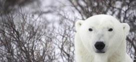 قطار فندقي يقدم فرصة لمشاهدة الدب القطبي عن قرب