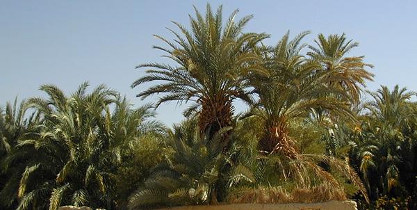 نخيل واحة الفرافرة، مصر