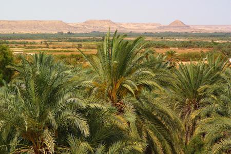من نخيل الواحة البحرية ـ مصر