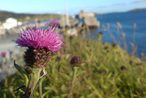 زهور جزيرة بارا، اسكتلندا
