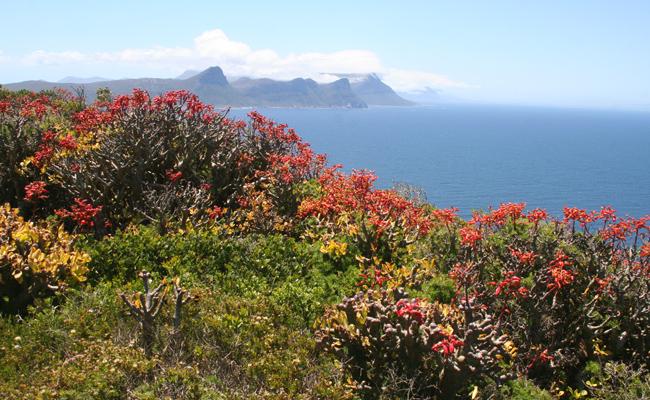 زهور كيب بوينت، كيب تاون ـ جنوب أفريقيا