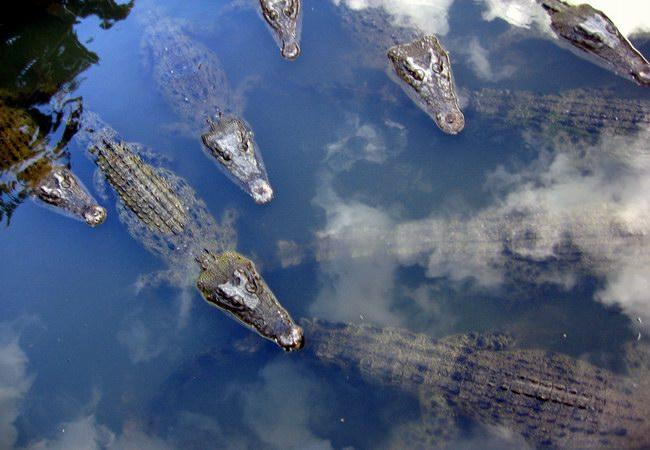 التماسيح التي تكثر في بحيرة Umi Jigoku
