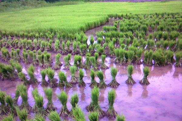 حقول الأرز في كيرالا