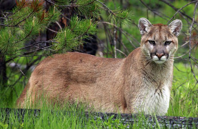 الوشق الكندي أحد أهم الحيوانات المهددة بالإنقراض