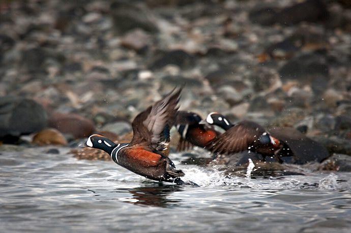 طيور ملونة تحاول صيد السمك من البحيرة