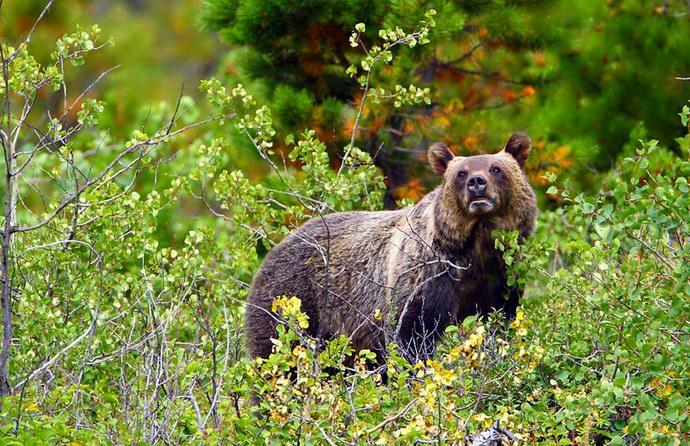 الدبب السوداء تحاول التهام التوت البري