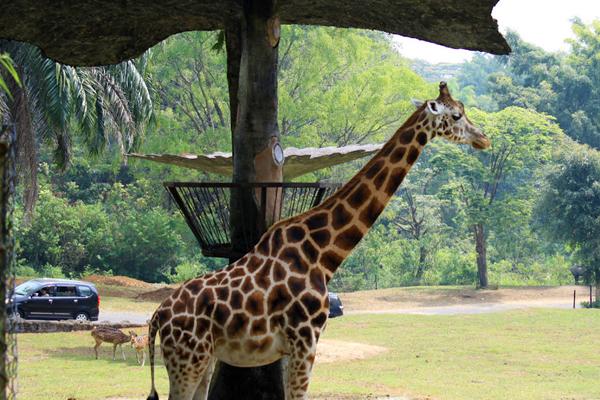 حديقة تامان سفاري إندونيسيا