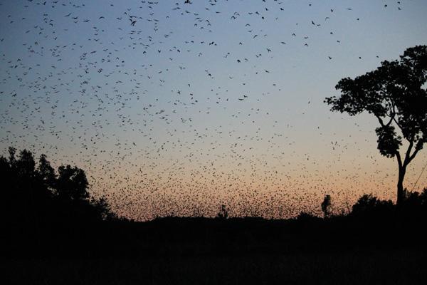 هجرة الخفافيش، زامبيا