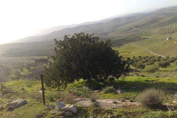 تشتهر جرش بأشجار الزيتون التي يصل لعدها لنحو مليون وربع المليون شجرة