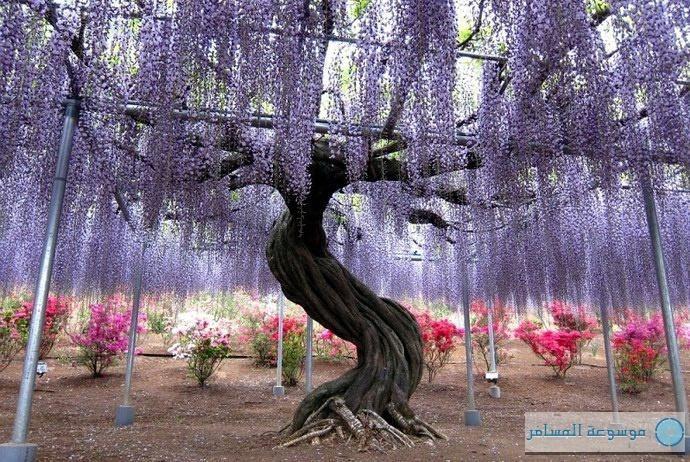 واحدة من نبات الويستريا في حديقة كواتشي اليابانية
