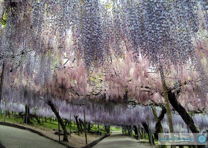 ألوان ورائحة طبيعية في حديقة كواتشي فوجي