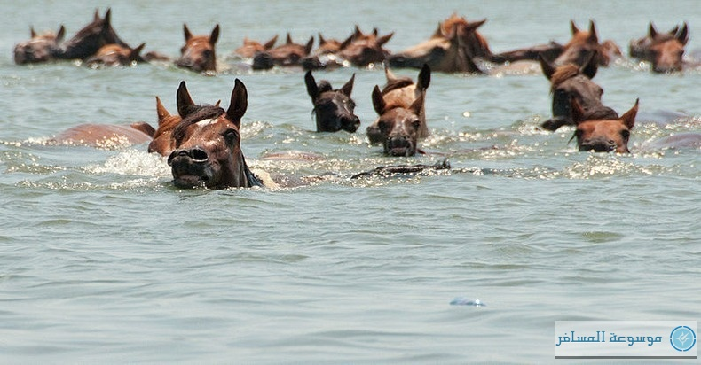chincoteague-pony-swim-16[2]