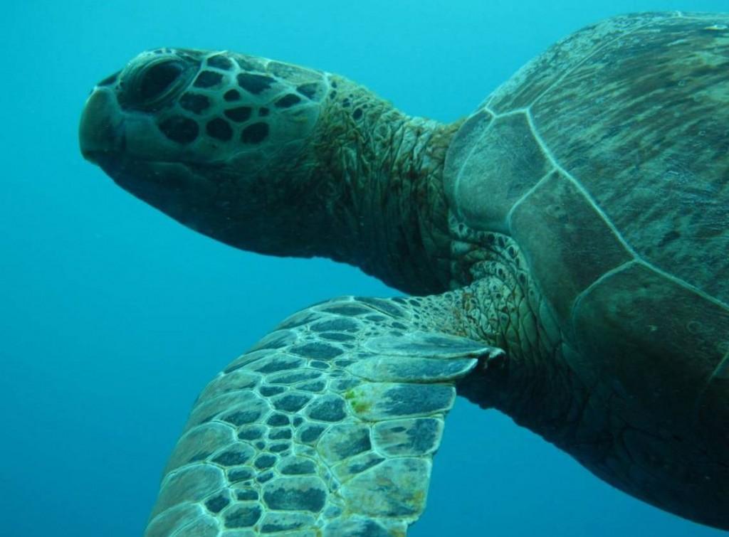 السلاحف في جزر ديراوان في اندونيسيا