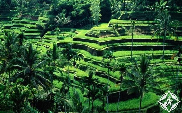 مدرجات الأرز في أوبود ، بالي