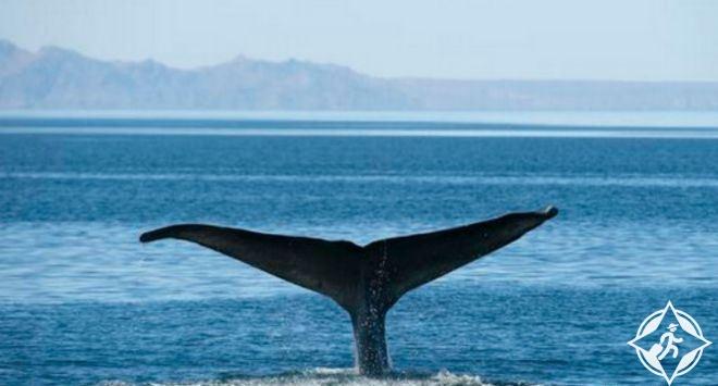 فيديو لثلاثة حيتان ضخمة تلهو حول قارب في المحيط الهادي