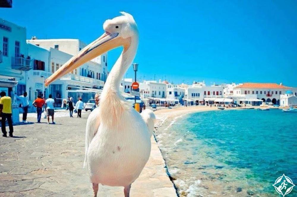 البجع بيتر في جزيرة ميكونوس
