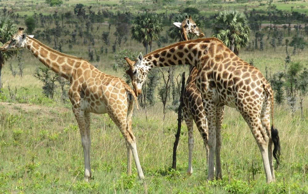الكاميرون - حديقة وازا الوطنية